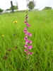 Spiranthes australis flowerhead