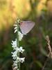 Spiranthes lacera flower
