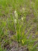 Spiranthes lucida form in a wet field