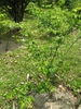 Staphylea bumalda