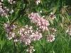 Staphylea holocarpa
