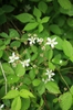 Rubus hispidus