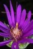 Purple ray flowers (Sumter County, US-AL)-Mid Fall
