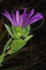 Symphyotrichum pratense
