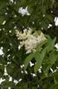 Syringa reticulata