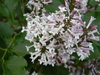 Syringa pubescens subsp. patula 'Miss Kim'