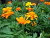 Photo of Tagetes erecta