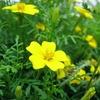 Tagetes tenuifolia 'Lemon Gem'