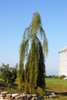 Taxodium distichum 'Falling Waters' Form