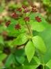 Thaspium trifoliatum