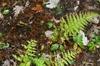 Thelypteris noveboracensis