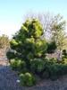 Pinus thunbergii 'Thunderhead'