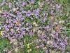 Thyme_(Thymus_vulgaris) flowers