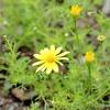 Thymophylla tenuiloba