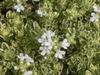 Thymus praecox