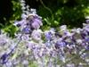 Thymus herba-barona