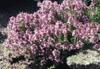 Thymus leucotrichus