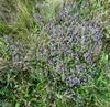 Thymus pulegioides