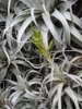 Tillandsia xerographica close