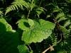 Leaf and plantlet