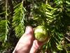 Torreya californica