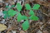 Lobed leaves (Chesterfield County, SC)-Late Summer