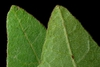 Front and back of leaf (Chesterfield County, SC)-Late Summer
