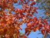 Toxicodendron radicans Fall color Leaf