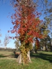 Toxicodendron radicans Fall Color Form