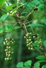 Fruit clusters (Alleghany County, NC)-Late Summer