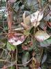 Trachelospermum asiaticum 'Goshiki'