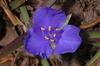 Flower of T. hirsutiflora