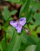 Tradescantia subaspera bloom and buds