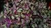 Tradescantia zebrina houseplant