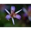 Tricyrtis lasiocarpa