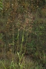 Panicles of spikelets (Monroe County, NY)-Early Fall
