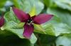 T. erectum flower