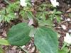 Trillium ludovicianum