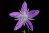 Violet flower (Glenwood, Greensboro, NC)-Mid Summer