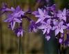 Flowers of T. violacea