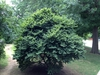 Ulmus carpinifolia