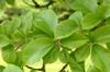 Ulmus davidiana var. japonica 'Emerald Sunshine'