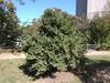 Ulmus x elegantissima 'Jacqueline Hillier' Form