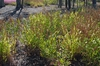 Uniola paniculata