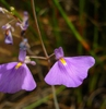 Utricularia leptorhyncha