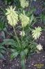 Veltheimia bracteata 'Yellow'