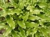 Veltheimia capensis