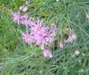 Vernonanthyra nudiflora