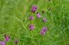 Vernonia lettermannii