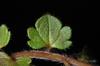 Veronica hederifolia